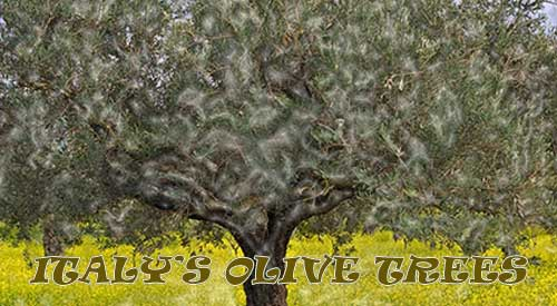 Olive Trees of Italy are facing the same Bacterium invasion as the USA