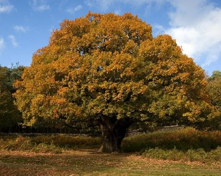 Oak tree in full autumn canopy.