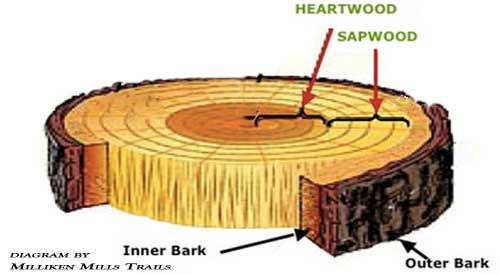 In the Wood Bark or Not debate this Diagram shows the two key elements of the tree that can effect your Barbecue results. Smokinlicious® only harvest wood from the heartwood of the tree.